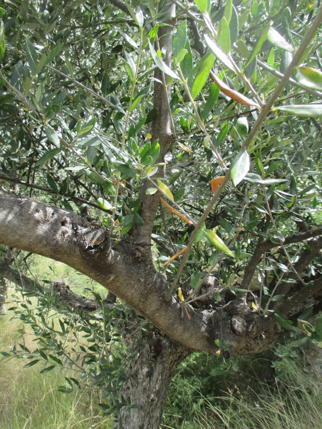 photo article so what is olive pruning you say